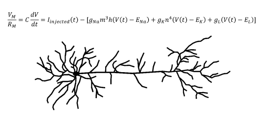 Neuron and Hodgkin-Huxley