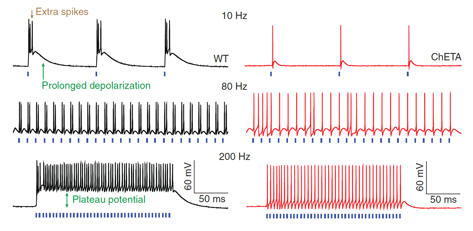 ultrafast optogenetics