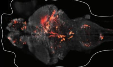whole-brain recording from larval zebrafish