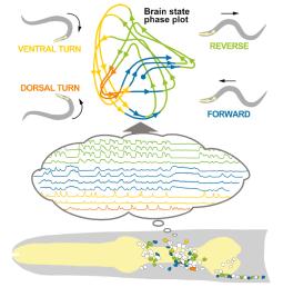 C. elegans brain dynamics