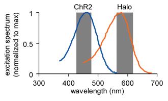 Halorhodopsin and ChR2 wavelengths