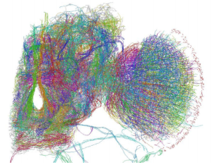 Traced Drosophila Brain Hemisphere