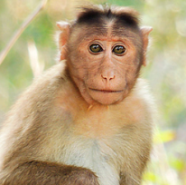 China Brain Project macaque