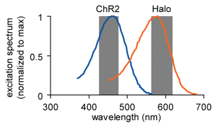 Halorhodopsin and ChR2 wavelengths