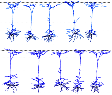 Morpho-electric classification of neurons